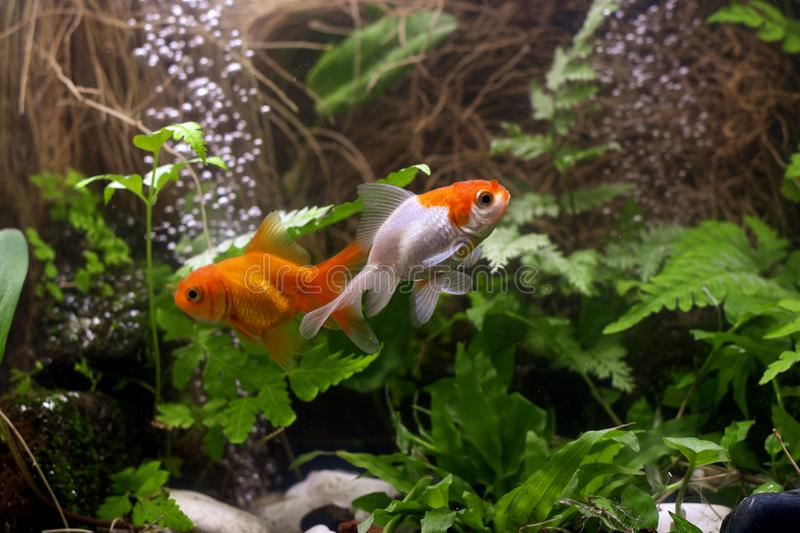 Χρυσά ψάρια koi που απομονώνονται στο μαύρο υπόβαθρο στοκ φωτογραφία