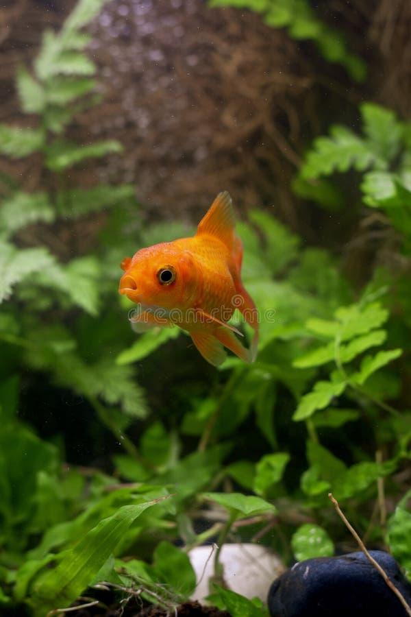 Χρυσά ψάρια koi που απομονώνονται στο μαύρο υπόβαθρο στοκ φωτογραφία με δικαίωμα ελεύθερης χρήσης