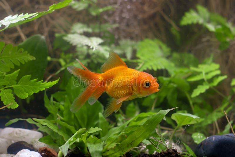 Χρυσά ψάρια koi που απομονώνονται στο μαύρο υπόβαθρο στοκ εικόνες με δικαίωμα ελεύθερης χρήσης
