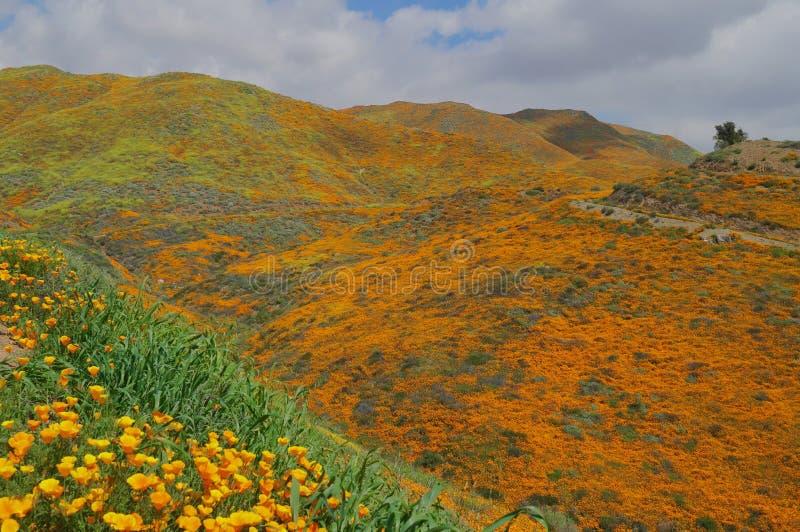 Χρυσά Mountainsides των παπαρουνών Καλιφόρνιας στοκ φωτογραφίες