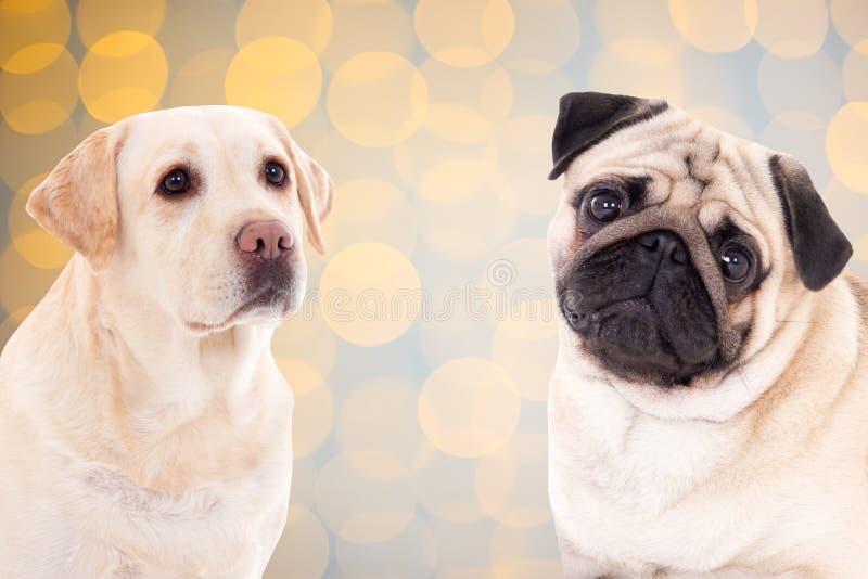Χρυσά retriever και σκυλί μαλαγμένου πηλού πέρα από το υπόβαθρο Χριστουγέννων με το ligh στοκ εικόνες