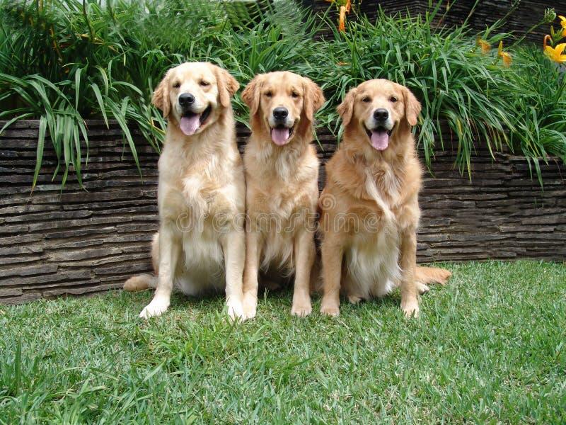 Download χρυσά retrievers τρία στοκ εικόνες. εικόνα από γενεαλογικός - 379680