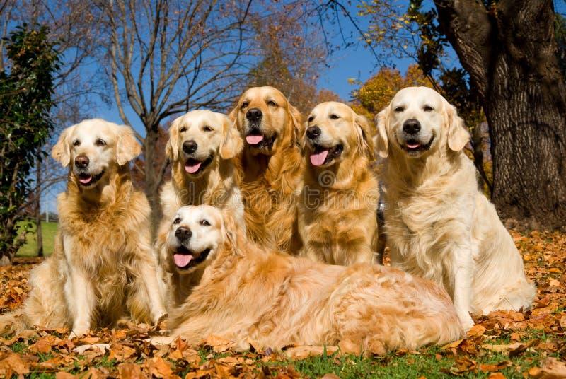 χρυσά retrievers GR σκυλιών στοκ εικόνες