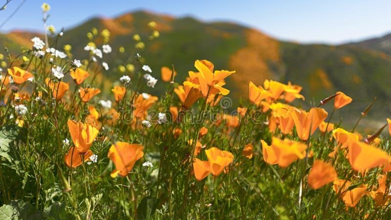 Χρυσές παπαρούνες Καλιφόρνιας με τα άσπρα λουλούδια στοκ φωτογραφία με δικαίωμα ελεύθερης χρήσης
