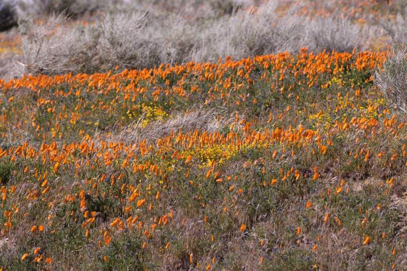 Χρυσές παπαρούνες Καλιφόρνιας στοκ εικόνα με δικαίωμα ελεύθερης χρήσης
