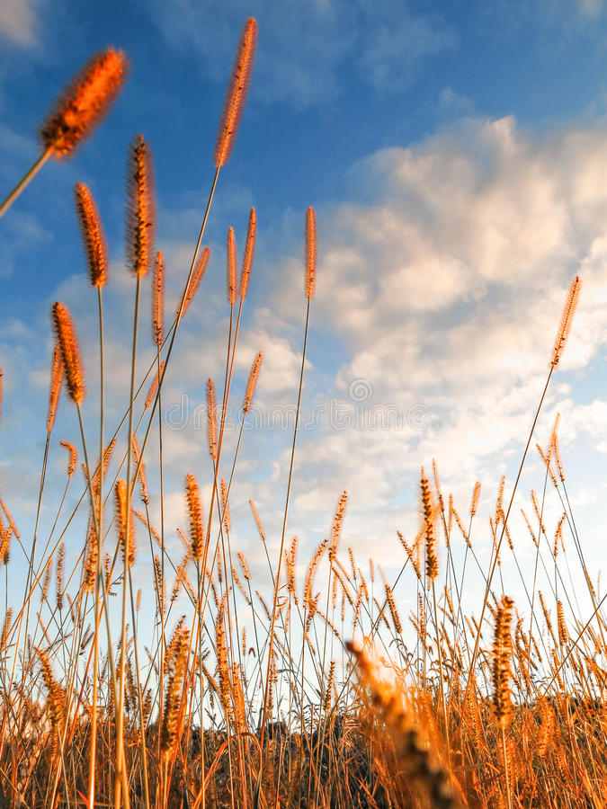 Χρυσές ταλαντεύσεις χλόης εδάφους λιβαδιών ενάντια σε έναν μπλε ουρανό με τα άσπρα σύννεφα στοκ εικόνες