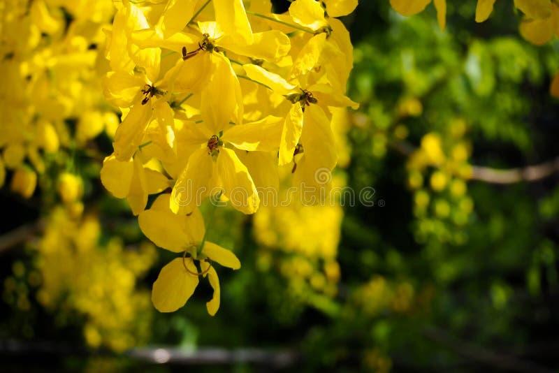 Χρυσή άνθιση λουλουδιών ντους στον κήπο Λουλούδι Ratchaphruek κίτρινος κλάδος λουλουδιών με το πράσινο φύλλο το καλοκαίρι στοκ φωτογραφία