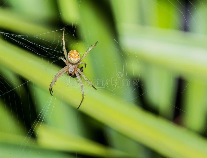 Χρυσή άσπρη και μαύρη αράχνη με το θήραμα στον Ιστό στοκ φωτογραφίες με δικαίωμα ελεύθερης χρήσης