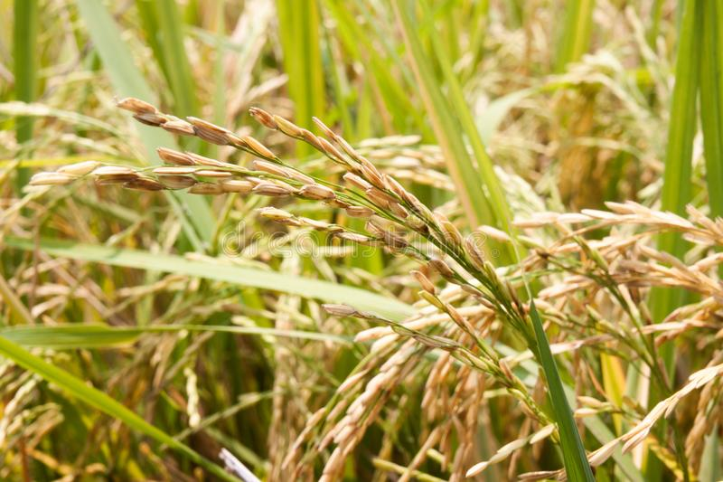 Χρυσή ακίδα ρυζιού στον τομέα ρυζιού στοκ φωτογραφίες με δικαίωμα ελεύθερης χρήσης