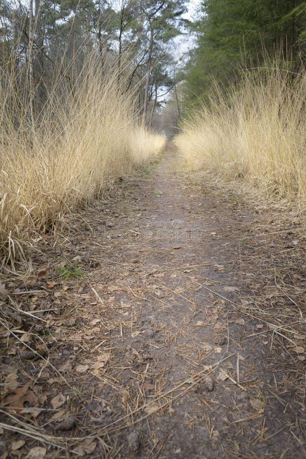 Χρυσή ανάπτυξη χλόης εκτός από τον τρόπο πορειών στο δάσος πεύκων στοκ εικόνες