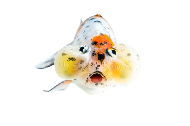 Χρυσή απομόνωση ψαριών στο άσπρο υπόβαθρο στοκ εικόνες με δικαίωμα ελεύθερης χρήσης