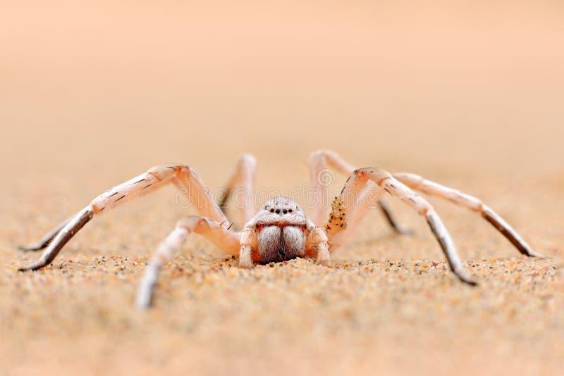 Χρυσή αράχνη ροδών, aureoflava Carparachne, χορεύοντας λευκιά κυρία στον αμμόλοφο άμμου Ζώο δηλητήριων από την έρημο Namib στη Να στοκ εικόνες