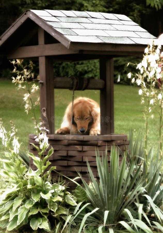 Download χρυσή κάνοντας Retriever επιθυμία Στοκ Εικόνα - εικόνα από αγροτικός, ζωικός: 385841