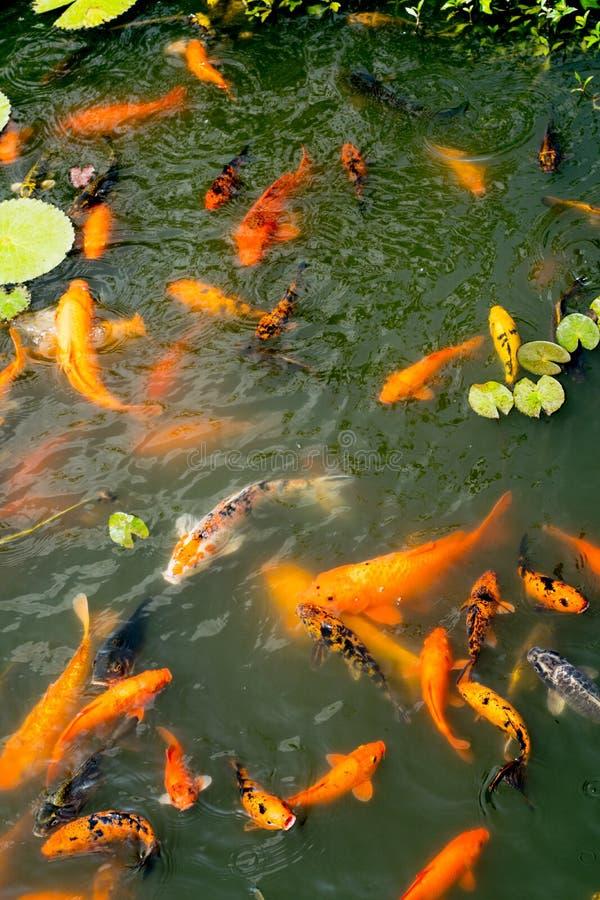 Χρυσή και ζωηρόχρωμη λίμνη ψαριών στοκ φωτογραφία με δικαίωμα ελεύθερης χρήσης