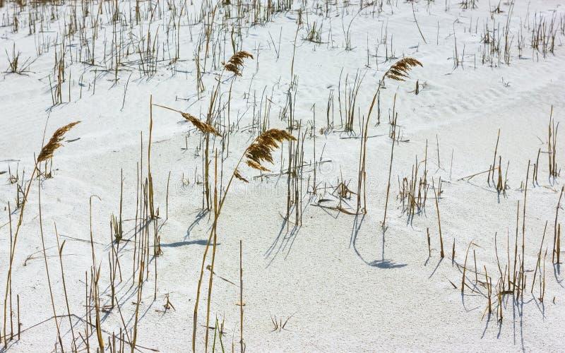 Χρυσή κινηματογράφηση σε πρώτο πλάνο καλάμων στους άσπρους αμμόλοφους άμμου στοκ εικόνα