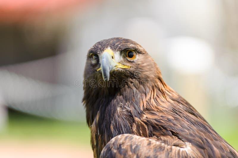 Χρυσή μπροστινή άποψη αετών στοκ φωτογραφία με δικαίωμα ελεύθερης χρήσης