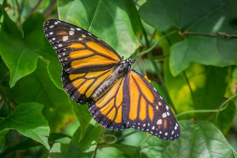 Χρυσή πεταλούδα στοκ φωτογραφία
