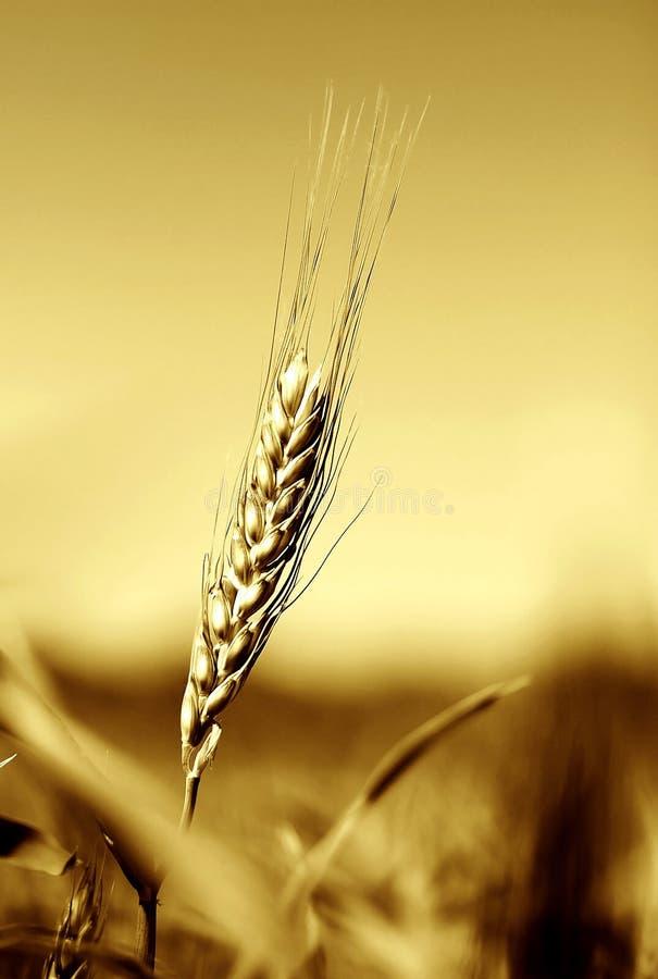 χρυσή σίκαλη σιταριού πεδίων στοκ φωτογραφία με δικαίωμα ελεύθερης χρήσης
