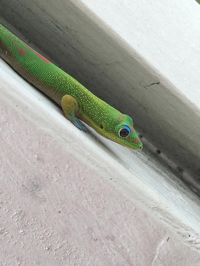 Χρυσή σκόνη ημέρα Gecko στοκ φωτογραφία με δικαίωμα ελεύθερης χρήσης