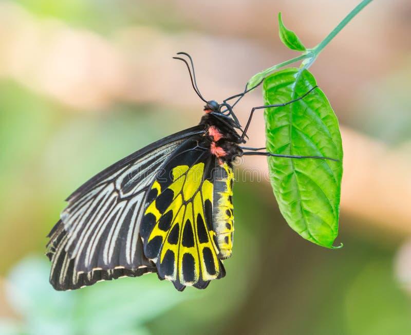 Χρυσή birdwing πεταλούδα στοκ εικόνες