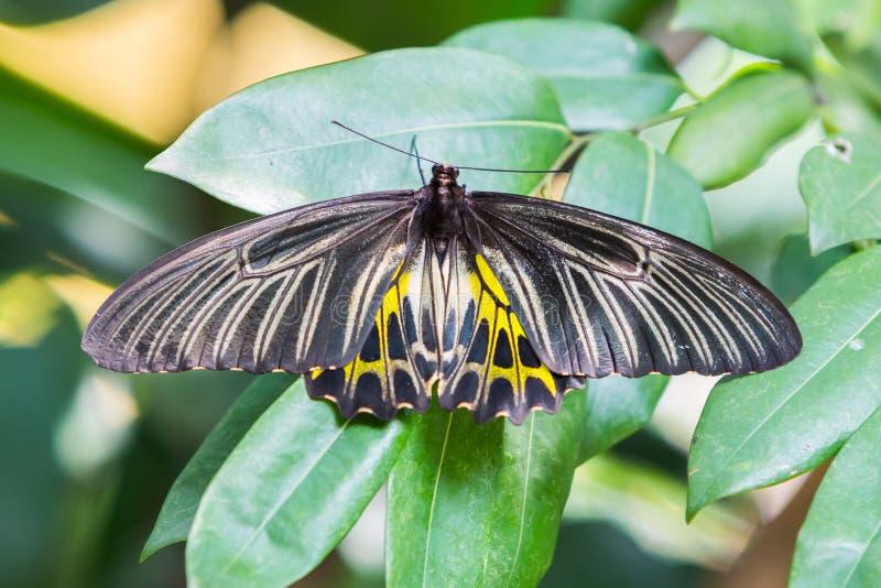Χρυσή birdwing πεταλούδα στοκ φωτογραφία με δικαίωμα ελεύθερης χρήσης