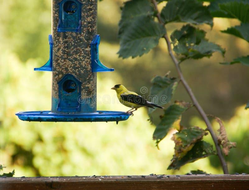 Χρυσή finch σίτιση στον μπλε τροφοδότη πουλιών το καλοκαίρι σε Μινεσότα στοκ εικόνα