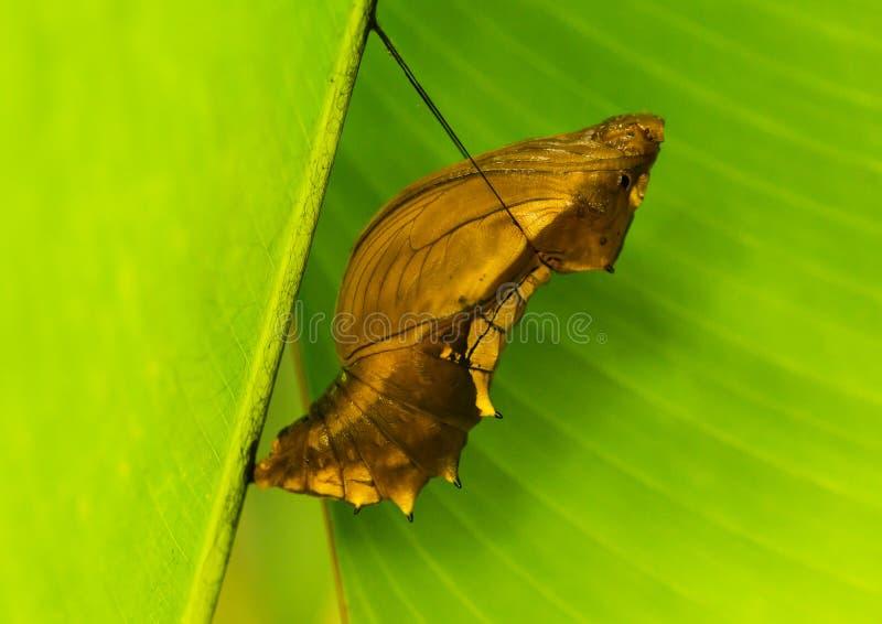 Χρυσαλίδα μιας πεταλούδας Birdwing τύμβων στοκ εικόνα με δικαίωμα ελεύθερης χρήσης
