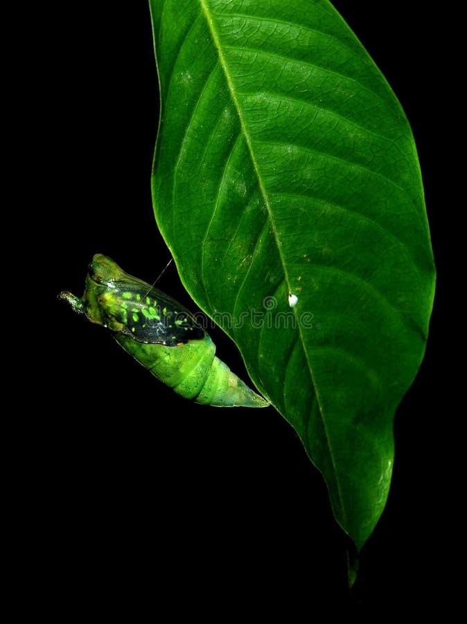 χρυσαλίδα πεταλούδων στοκ εικόνα