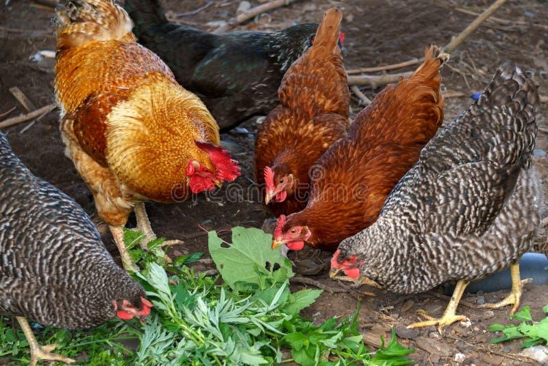 Χρυσοί κόκκορας και κοτόπουλα Ελεύθεροι κόκκορας και κοτόπουλα σειράς στοκ φωτογραφία