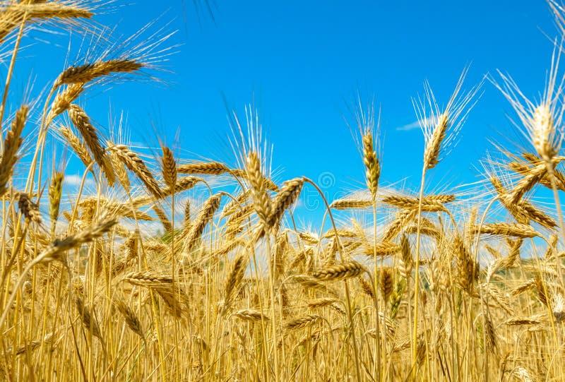 Χρυσοί τομέας και μπλε ουρανός σίτου στοκ εικόνα