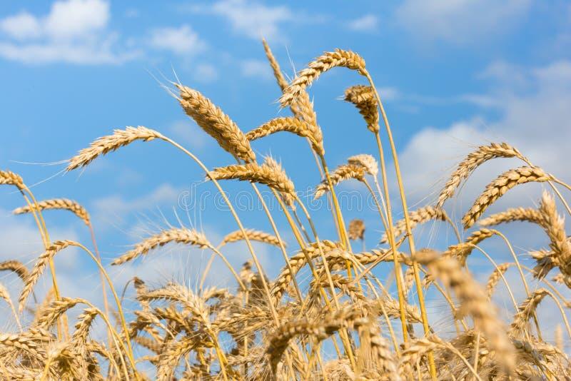 Χρυσοί τομέας και μπλε ουρανός σίτου στοκ φωτογραφίες με δικαίωμα ελεύθερης χρήσης