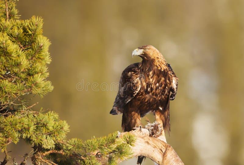 Χρυσός αετός που σκαρφαλώνει σε έναν κλάδο δέντρων πεύκων στοκ εικόνες