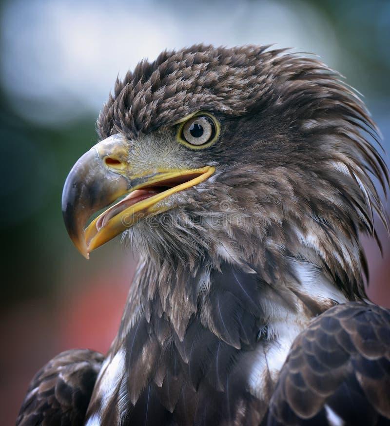 Χρυσός αετός στοκ εικόνα με δικαίωμα ελεύθερης χρήσης