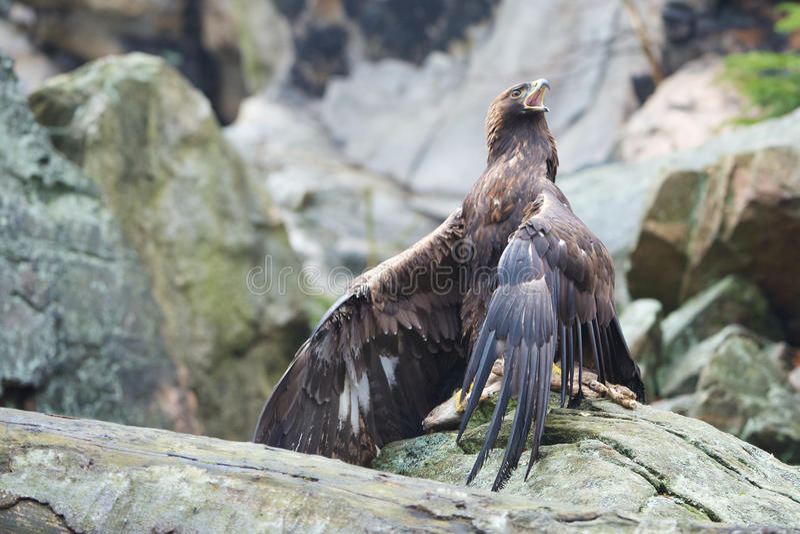 Χρυσός αετός στοκ φωτογραφία