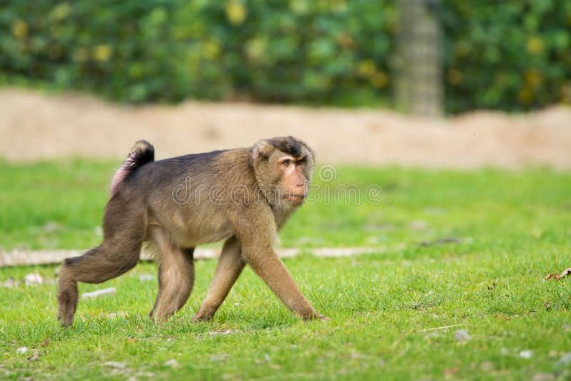 Χρυσός διογκωμένος πίθηκος mangabey στο ζωολογικό κήπο στοκ εικόνες με δικαίωμα ελεύθερης χρήσης