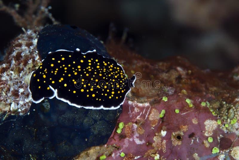Χρυσός-διαστιγμένος flatworm στη Ερυθρά Θάλασσα. στοκ εικόνες