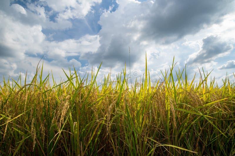 Χρυσός και ουρανός τομέων ρυζιού στοκ φωτογραφίες με δικαίωμα ελεύθερης χρήσης