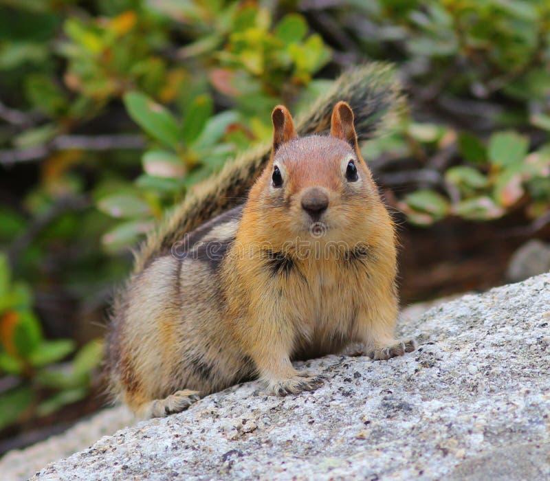 Χρυσός-καλυμμένος επίγειος σκίουρος που σκύβει σε έναν βράχο στοκ φωτογραφία με δικαίωμα ελεύθερης χρήσης