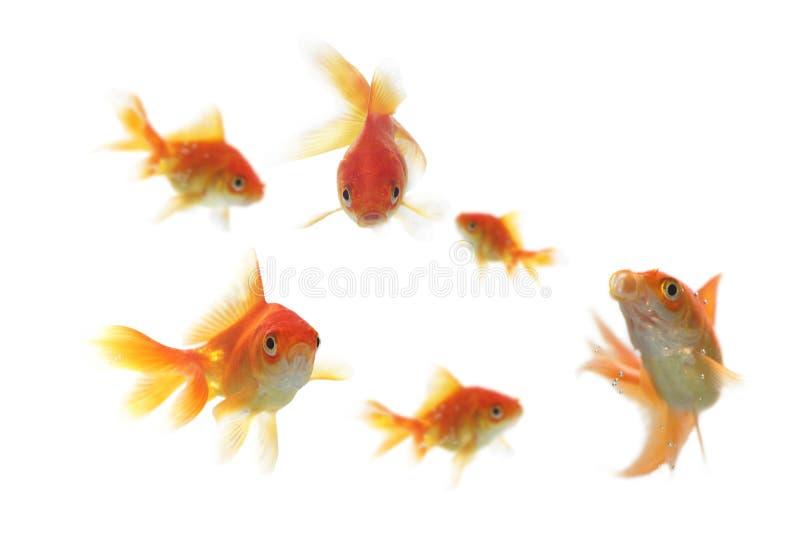Χρυσός κοπαδιών των ψαριών στοκ φωτογραφία