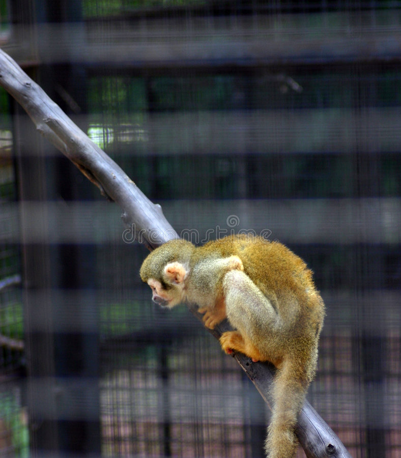 χρυσός πίθηκος στοκ εικόνες με δικαίωμα ελεύθερης χρήσης
