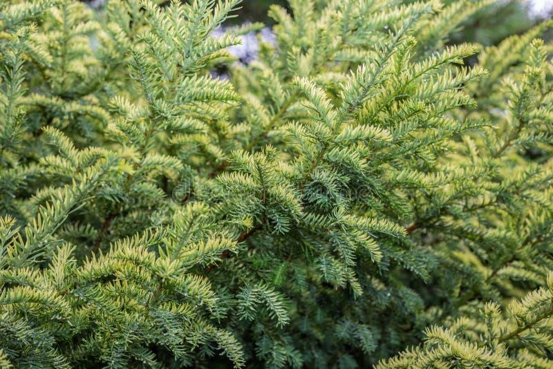 Χρυσός τάπητας horizontalis ιοuνίπερος ιουνιπέρων ποικιλιών σερνμένος στο θερινό δύσκολο κήπο στοκ φωτογραφίες