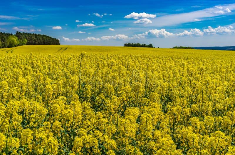 Χρυσός τομέας του ανθίζοντας συναπόσπορου με τα όμορφα σύννεφα στο μπλε ηλιόλουστο τοπίο ουρανού στοκ εικόνες με δικαίωμα ελεύθερης χρήσης