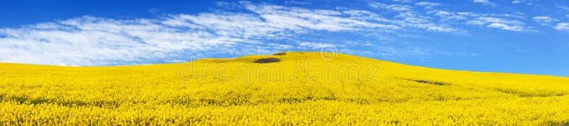 Χρυσός τομέας του ανθίζοντας συναπόσπορου, του canola ή του ελαίου κολζά στοκ φωτογραφία