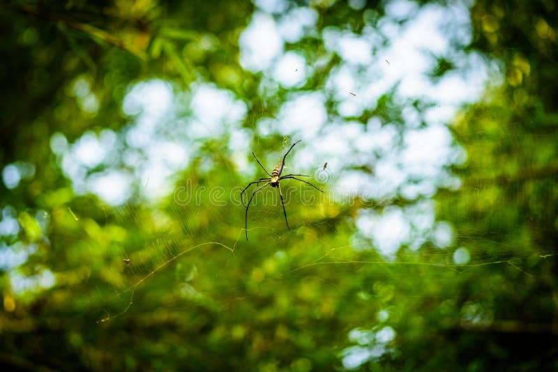 Χρυσός υφαντής Nephila σφαιρών μεταξιού ή γιγαντιαίες ξύλινες αράχνες, ή Banan στοκ φωτογραφία