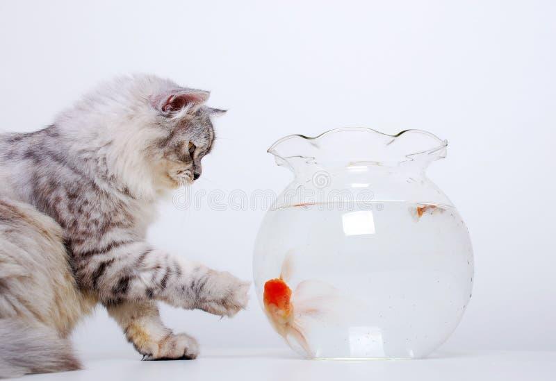 χρυσός ψαριών γατών στοκ εικόνα με δικαίωμα ελεύθερης χρήσης