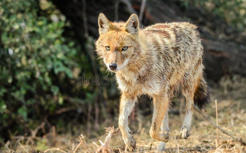 χρυσός jackal στοκ εικόνα