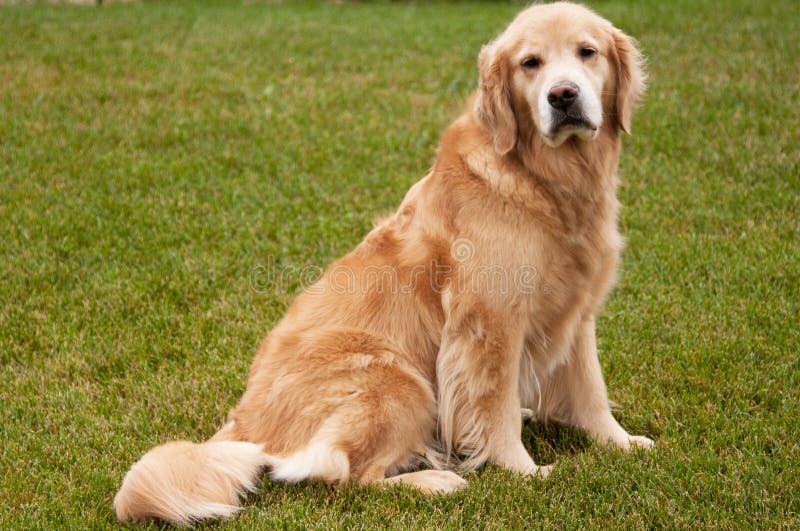 χρυσός retriever σκυλιών πρεσβύτ&eps στοκ εικόνα με δικαίωμα ελεύθερης χρήσης