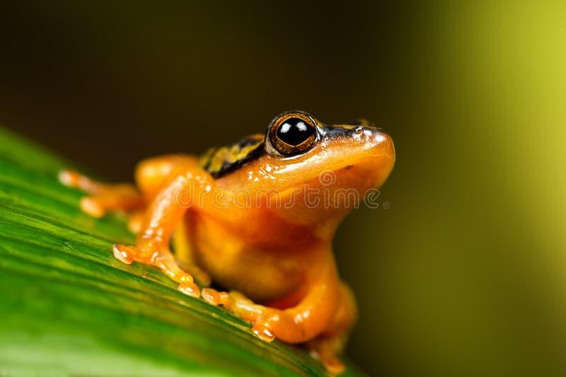 Χρυσός Sedge βάτραχος στοκ εικόνες