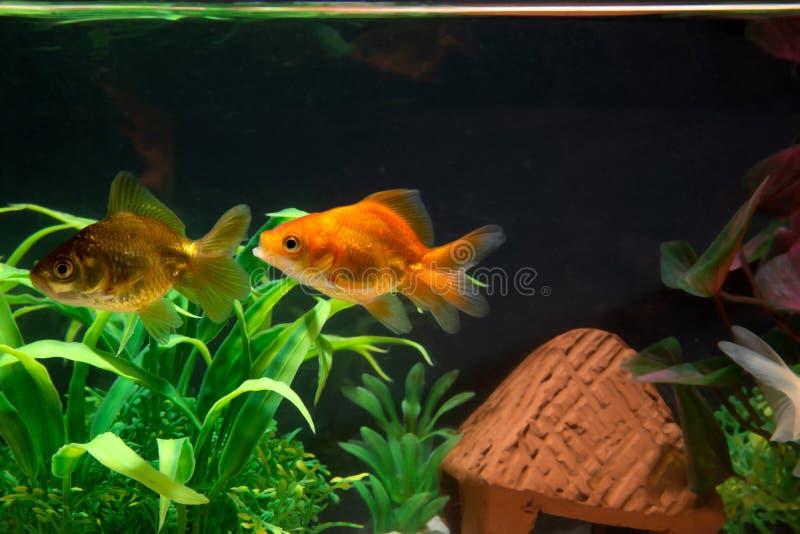 Χρυσόψαρα ή χρυσόψαρα που πλέουν κάτω από το νερό σε δεξαμενή γλυκού ενυδρείου με πράσινο φυτό στοκ εικόνες