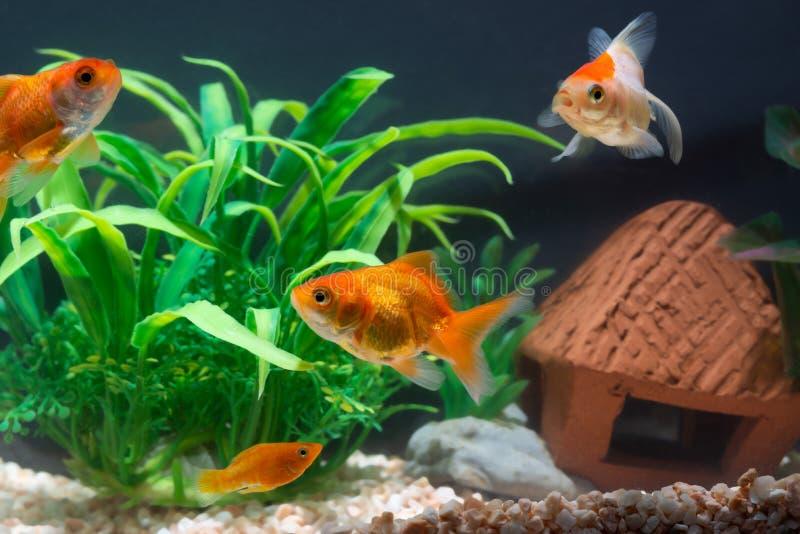 Χρυσόψαρα ή χρυσόψαρα που πλέουν κάτω από το νερό σε δεξαμενή γλυκού ενυδρείου με πράσινο φυτό στοκ φωτογραφία με δικαίωμα ελεύθερης χρήσης